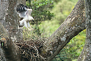 Crested Eagle chick on nest excercing wings<br />Morphnus guianensis<br />Puerto Maldonado,  Amazon Rain Forest<br />PERU.  South America