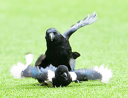 02.05.2010, Anfield, Liverpool, ENG, PL, Liverpool FC vs Chelsea FC im Bild a Magpie, which has evaded groundstaff inside Liverpool's Anfield Stadium since Thursday is chasedd attacked an by a blackbird, EXPA Pictures © 2010, PhotoCredit: EXPA/ Propaganda/ D. Rawcliffe / SPORTIDA PHOTO AGENCY