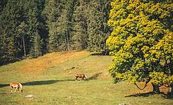 THEMENBILD - herbstlich verfärbte Bäume auf einer Wiese, auf der Pferde (Haflinger) grasen, aufgenommen am 13. Oktober 2019 in Saalbach Hinterglemm, Oesterreich // autumnally discoloured trees on a meadow where horses (Haflinger) graze, in Saalbach Hinterglemm in Austria on 2019/10/13. EXPA Pictures © 2019, PhotoCredit: EXPA/Stefanie Oberhauser