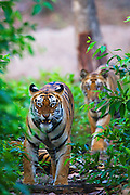 A pair of wild Indian bengal tigers (Panthera tigris tigris) approach snarling as they walk through the forest,Bandhavgarh,Madhya Pradesh,India