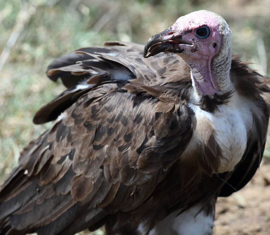 A hooded vulture (Necrosyrtes monachus) on the ground near the remains of a dead animal. Serengeti National Park, Tanzania.