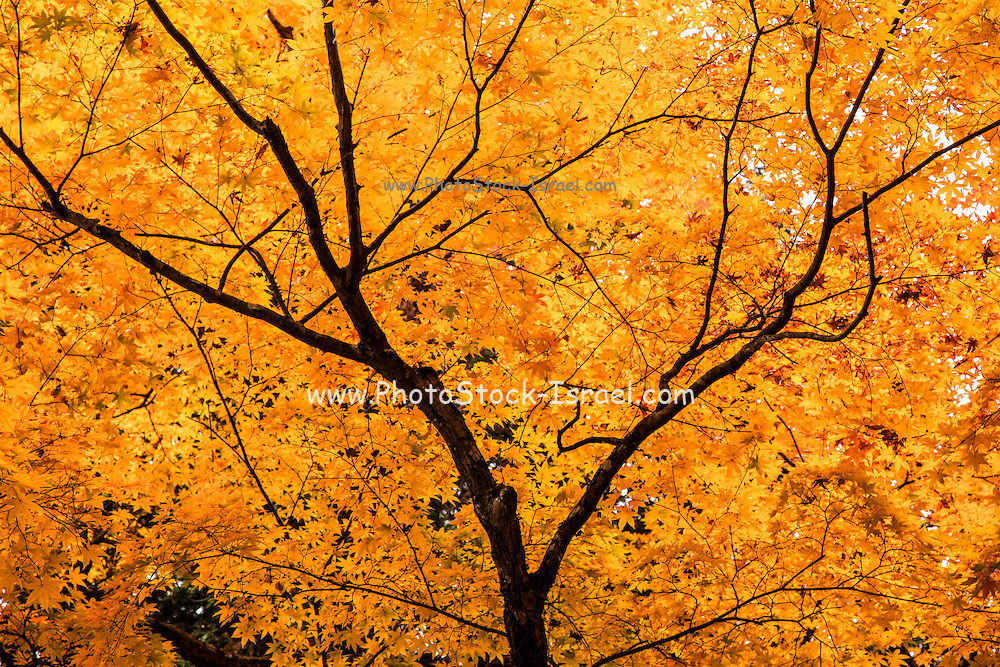 Autumn colors in the forest Toyooka Japan