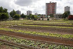 Crops at Organiponico La Sazon urban farm; Havana; Cuba; Tower blocks in background,