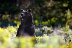 Standing Grizzly Bear, Grizzly #399 and cubs, Grand Teton National Park, Jackson Hole, Wyoming<br /> <br /> Contact for custom print options or inquiries about stock usage  - dh@theholepicture.com