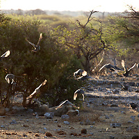 Africa, Namibia, Etosha. A pair of lions rest almost unnoticed as birds flutter past.