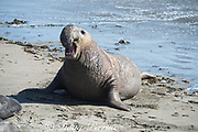 a male northern elephant seals, Mirounga angustirostris, vocalizes by forcing air through its proboscis to produce a loud drumming noise, Piedras Blancas, near San Simeon, California, United States ( Eastern Pacific Ocean ); the vocalization or signature call, advertises the seal's identity and possibly its social rank, or dominance within the social structure of the colony