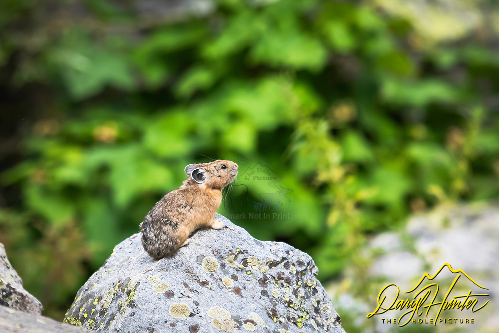 Pica taking a good look around.  These guys look like rodents but actually are in the rabbit family of creatures.  Found this guy in Cascade Canyon, Grand Teton National Park