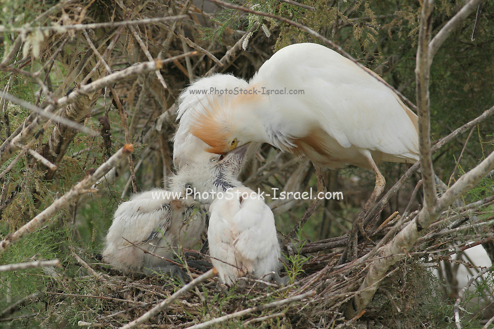 Adult Cattle Egret (Bubulcus ibis) in Breeding plumage feeding hatchlings Israel Spring May 2008