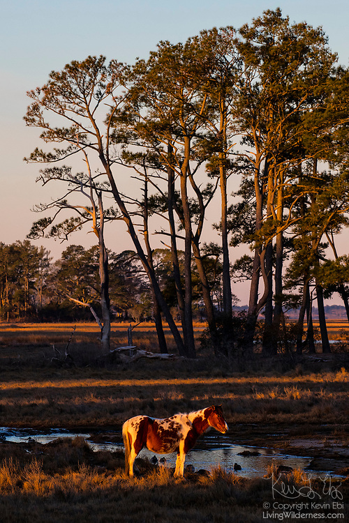A Chincoteague pony (Equus caballus), also known as an Assateague horse, is illuminated by the first light of day in a marsh on Assateague Island in the Chincoteague National Wildlife Refuge in Virginia. About 300 wild — technically feral — ponies roam the island on the Atlantic coast. There is some dispute as to how the ponies ended up on the island. Some researchers believe the ponies are survivors of the wreck of a Spanish galleon, La Galga, which sank just off the coast in 1750; the U.S. Fish and Wildlife Service believes they are descendants of horses owned by early colonial settlers.
