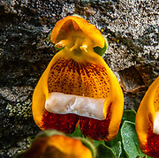"""Darwin's Slipper (Calceolaria uniflora; syn. Calceolaria darwinii) is a perennial plant of the genus Calceolaria, known as the slipperworts. This mountain plant grows up to 10 cm (4 in) tall. The flowers have areas of orange-yellow, white, and brownish red. Location: near Mirador """"Loma del Pliegue Tumbado"""" (""""hill of the collapsed fold""""), which we hiked 19 km (11.9 mi) round trip with 1170 meters (3860 ft) cumulative gain, in Los Glaciares National Park. El Chalten is in Santa Cruz Province, Argentina, Patagonia, South America. Los Glaciares National Park and Reserve are honored on UNESCO's World Heritage List. hat day."""