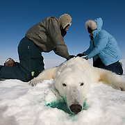 Dr. Steve Amstrup, USGS USGS biologist and assistant, Karyn Rode, preparing to collect data from a small, female, polar bear. Beaufort Sea ice pack.
