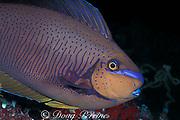 bignose unicornfish, Naso Vlamingii, starts to change from night colors to day colors (brown with dark markings) as it wakes up, Maaya Thila, Maldives ( Indian Ocean )