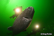 Greenland sleeper shark, Somniosus microcephalus, and divers, St. Lawrence River estuary, Canada (this shark was wild & unrestrained; it was not hooked and tail-roped as in most or all photos from the Arctic) MR 373, 374