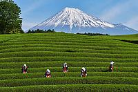 Japon, île de Honshu, région de Shizuoka, recolte du thé au pied du mont Fuji // Japan, Honshu, Shizuoka, tea harvest at the feet of Mount Fuji