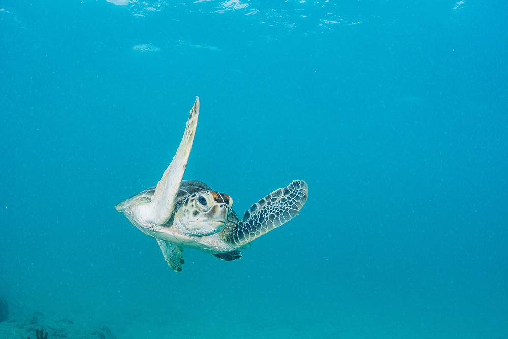 A green sea turtle (Chelonia mydas) in the waters of Bermuda.