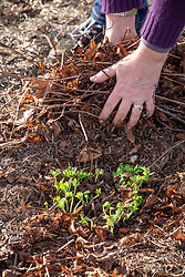 Removing old dead leaves from a perennial geranium in spring to encourage growth and discourage disease