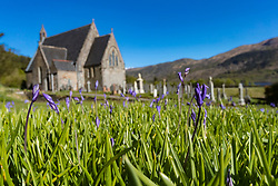 Bluebells in the grounds of St John's Church in Ballachulish