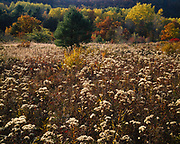 Meadow of goldenrod in seed, white pines and fall colors below Dorr Mountain, Mount Desert Island, Acadia National Park, Maine.
