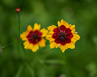 Coreopsis Flowers. Image taken with a Fuji X-H1 camera and 80 mm f/2.8 macro lens