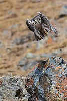 Saker falcon, Falco cherrug, China, Sichuan Province, Garze Prefecture, Serxu County.