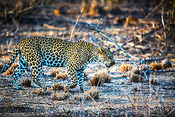 Leopard on the prowl in Kruger National Park of South Africa