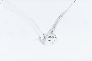 Snowy Owl. Nyctea scandiaca, Ottawa, Ontario, Canada