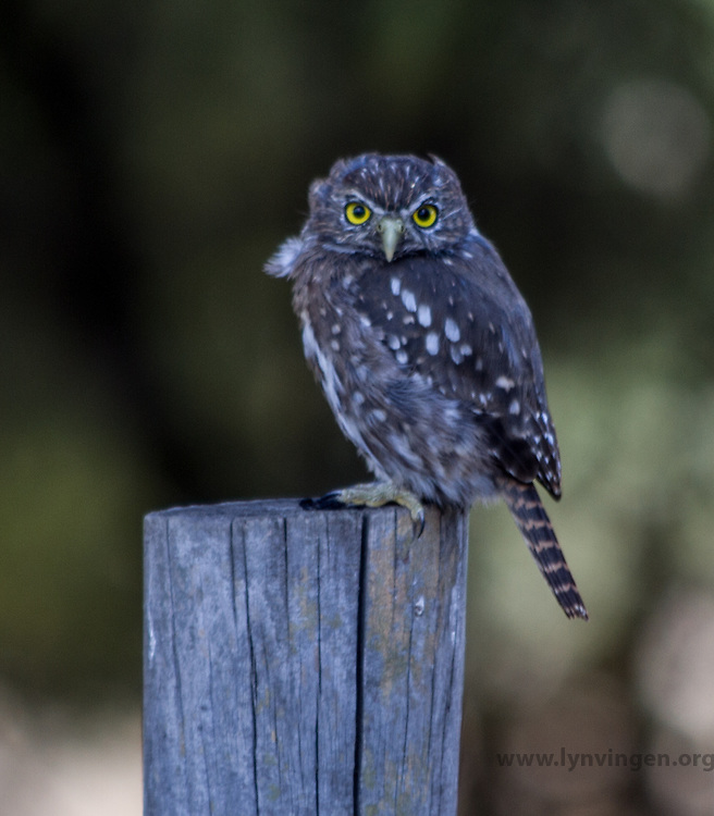 austral pygmy owl, Chile