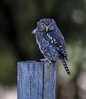 austral pygmy owl, Chile