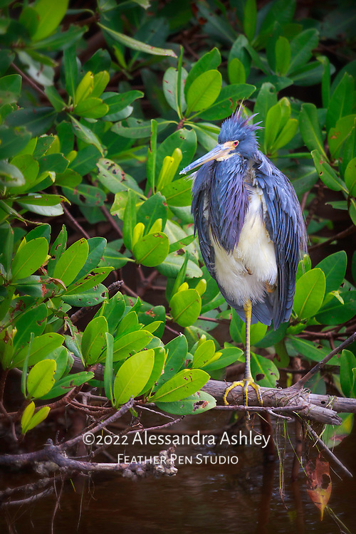 Tricolored heron with ruffled feathers, perched on one leg in mangrove between foraging sessions. Ding Darling NWR, Sanibel Island, FL.