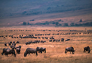 A herd of Guns or Wildebeest, Ngorongoro Crater, Tanzania, July, 2002