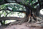 An old tree with strange roots and graffiti in a park on Plaza Alverar Square. Buenos Aires Argentina, South America