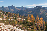 Subalpine Larches (Larix lyallii) in golden autumn color at Cutthroat Pass. North Cascades Washington