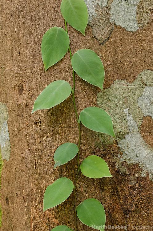 Small vine growing up a tree trunk, Boca Tapada, Costa Rica