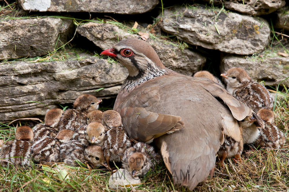 Red-Legged Partridge hen (French Partridge) Alectoris rufa, with newborn chicks, some under wing, The Cotswolds, UK
