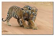 Tiger cubs. Tadoba National Park, India.  Nikon D4, 200-400mm @ 400mm, f4, 1/800sec, ISO1000, Aperture priority