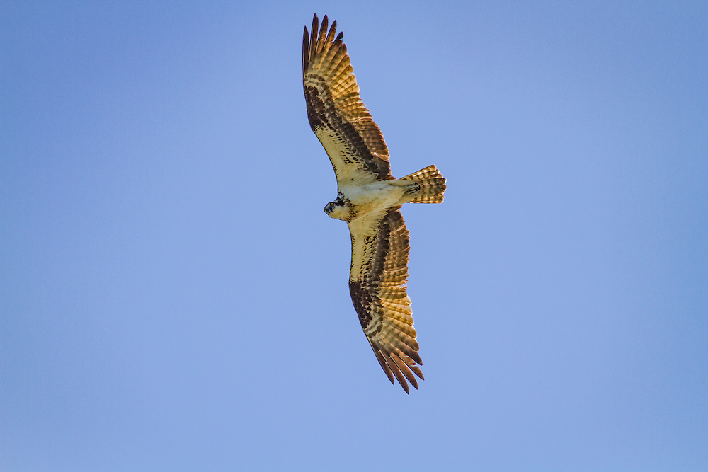 An osprey soars in a blue sky over the May River.