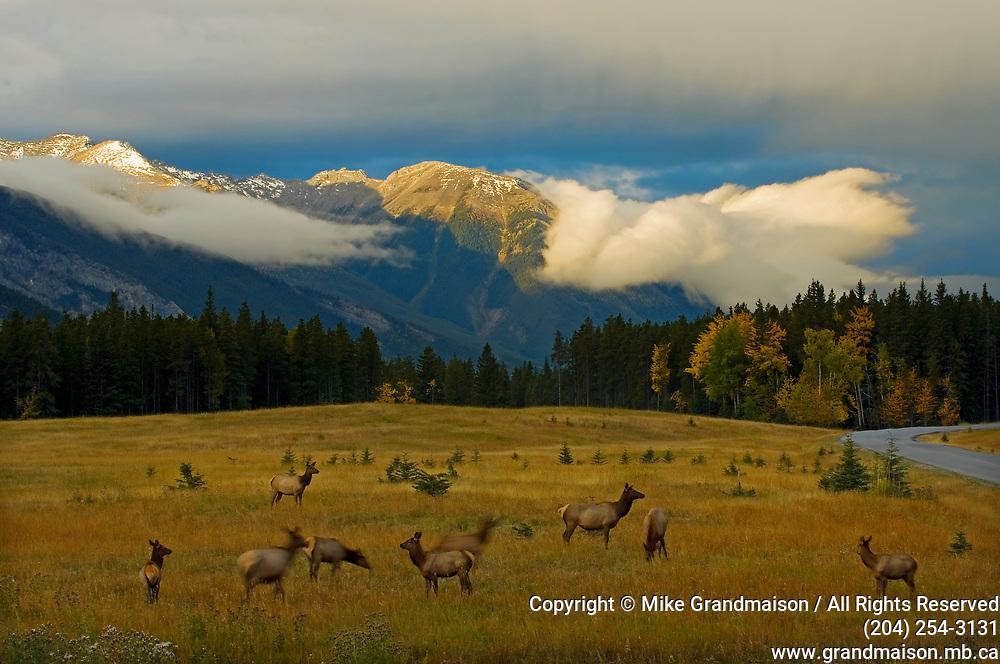 Elk  or wapiti (Cervus canadensis)  in meadow along Minnewanka Road in Banff National Park<br />Banff National Park<br />Alberta<br />Canada