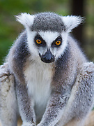 Ring-Tailed Lemur<br /> Lemur Catta at the Cotswold Wildlife Park, Oxfordshire, UK
