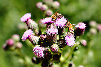 Honey bees gathering pollen from thistles on a sunny day