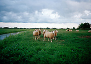 Schapen in Hollands landschap. © Holland Kodak Ektar serie