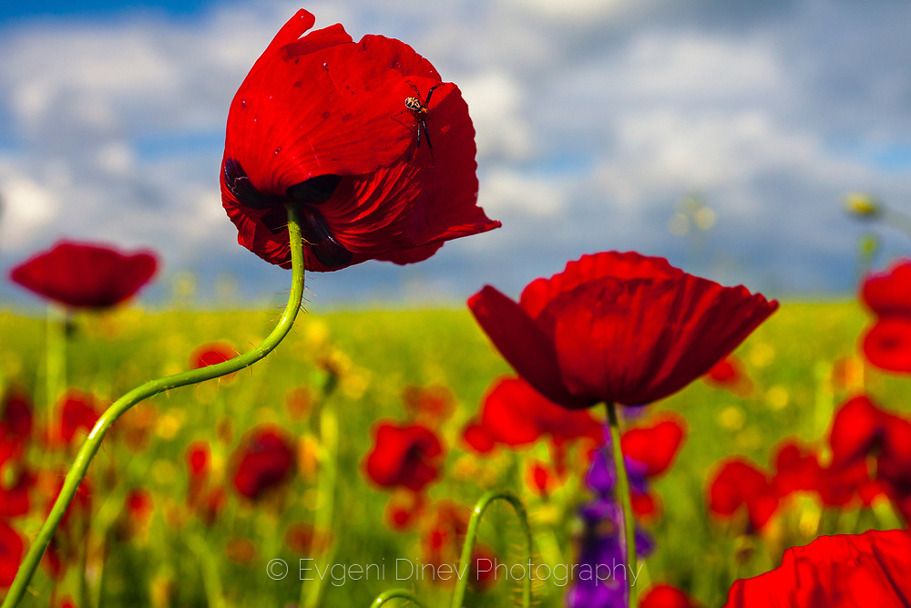 Spring field of poppies