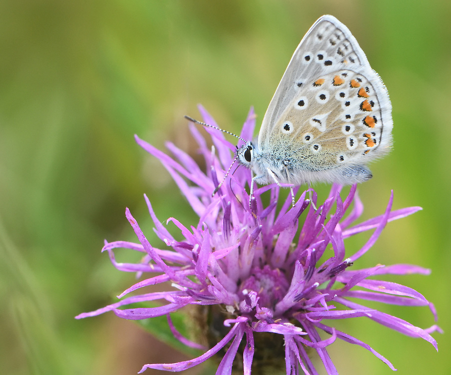 A male common blue butterfly (Polyommatus Icarus) feeds with its proboscis stretching deep into a flower of Common Knapweed (Centaurea nigra). Bedgebury Forest, Kent, UK.