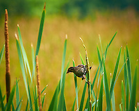 Female Red-Winged Blackbird with an Insect. First Day of Summer at the Sourland Mountain Preserve in New Jersey. Image taken with a Nikon D300 and 80-400 mm VR lens (ISO 200, 400 mm, f/8, 1/200 sec).