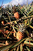 Pineapples<br />