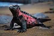 Endemic Marine Iguana (Amblyrhynchus cristatus) sitting on a black sand beach in the Galapagos, Black Beach, Floreana Island, Galapagos Islands, Ecuador