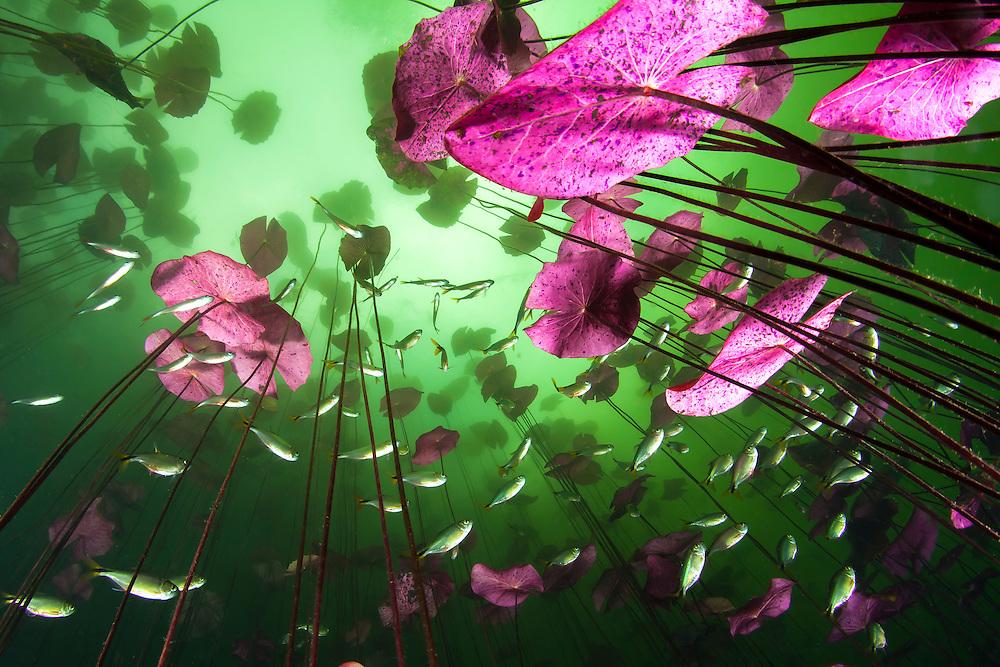 Mexico, Quintana Roo. Water plants and small fishes at cenote Aktun Ha, or Car Wash.