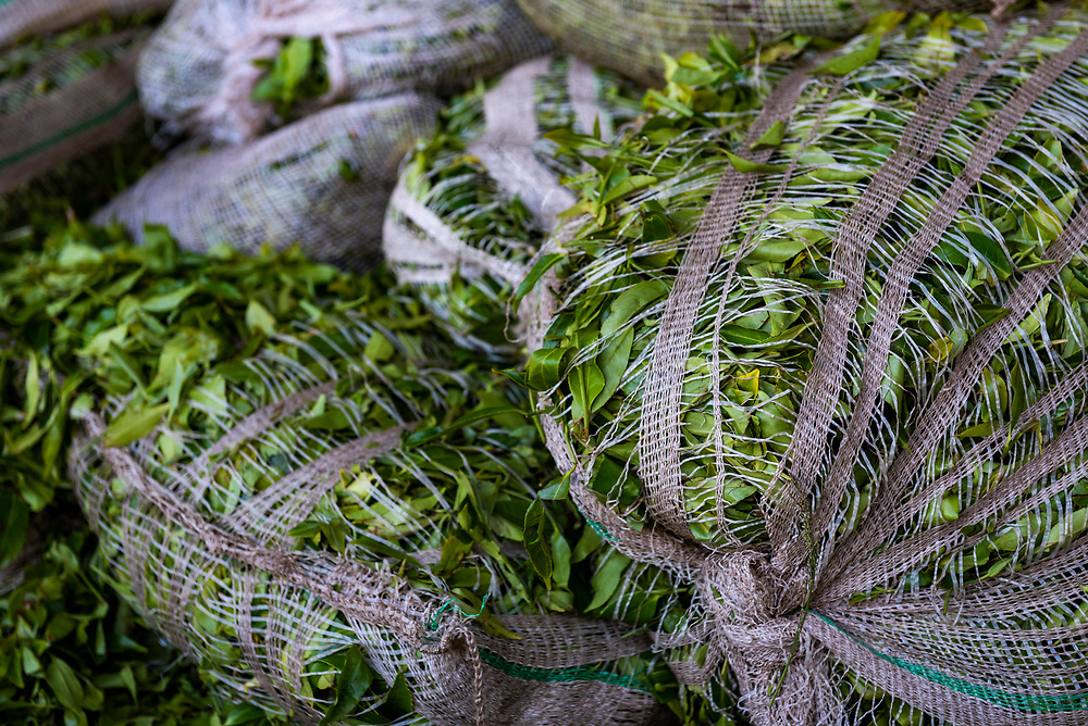 Harvested tea leaves ready for processing at a tea factory in Nuwara Eliya, Sri Lanka