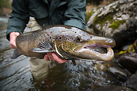 Large male landlocked salmon in full spawning glory, Clyde River, Newport, Vermont
