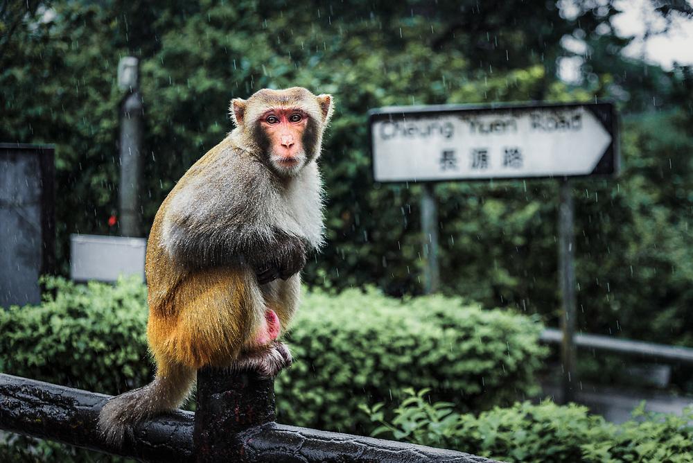 Monkey in Kam Shan Country Park, Hong Kong