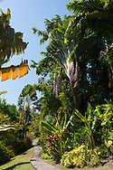 Ravenal madagascarensis (Travelers Palm), Cordyline and Musa basjoo (Banana tree) along a path in the  Hyde Park Garden, St. George's, Grenada, The West Indies, The Caribbean